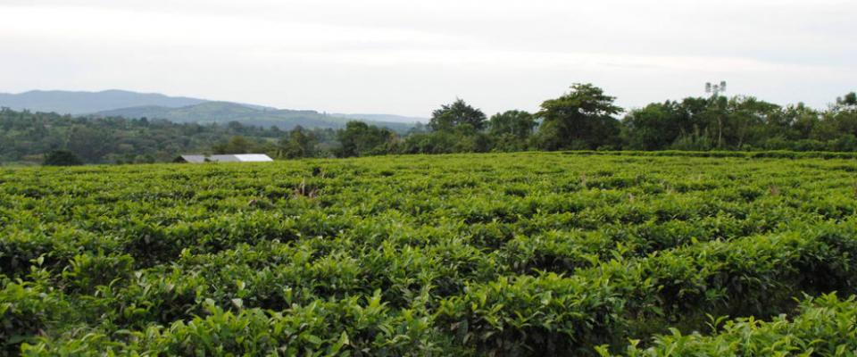 Uganda Tea, East Africa, Uganda, Nyambya, black CTC tea, Single Origin, Single Estate, Tea Factory, Family-owned