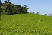 Factory - Tea Fields